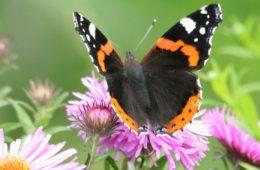 Farfalla Vanessa Atalanta